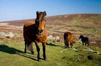 Wild-roaming-Dartmoor-Ponies-Grimspound-Dartmoor-National-Park-Devon-England