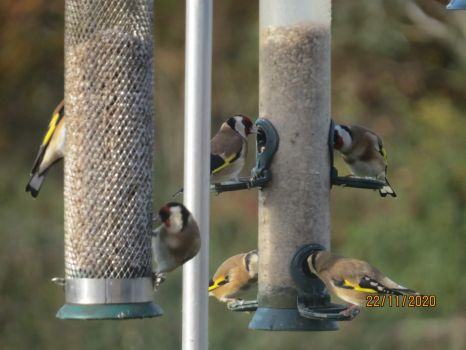 The Goldfinches fill the feeder ports