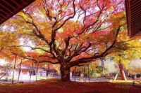 ,400 YEAR OLD MAPLE IN JAPAN