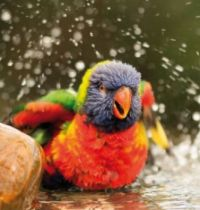beautiful bird is taking a shower
