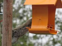 Is this a new species of Baltimore Oriole?????
