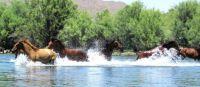 Wild Stallion. King of the Salt River Today!! Natn'l Tonto Forest.AZ by Tina Wooten