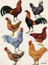 Vintage Chart of Breeds of Poultry