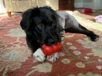 A puppy and her Kong