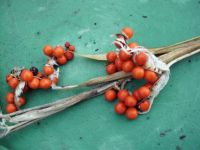 berries for 2015 planting