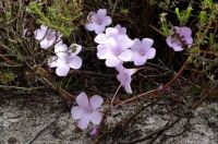Oxalis on Mountain Walk