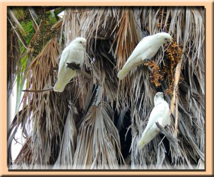 Corellas In Our Palm Tree....