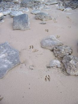 Deer tracks on Lake Huron