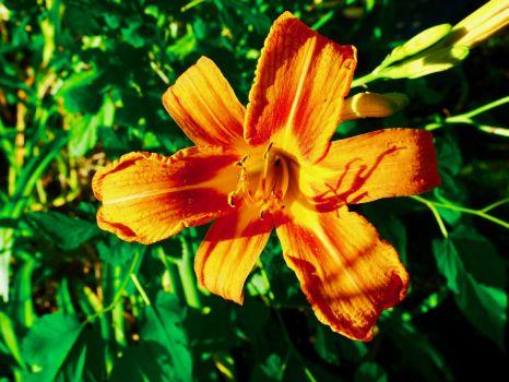 Orange lily