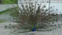Páv korunkatý (Pavo cristatus)