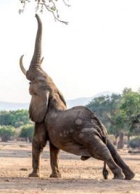 An elephant stretching..
