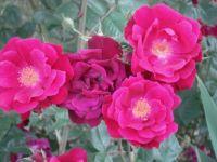 Resurrection roses