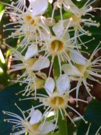 cherry laurel--medium