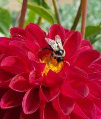 Stehekin Garden Dahlia with Bee--224