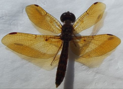 Amber wings