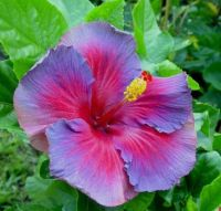 Unusual color - Hibiscus
