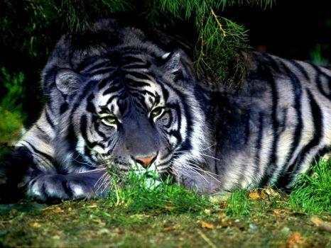 Tygr Maltský