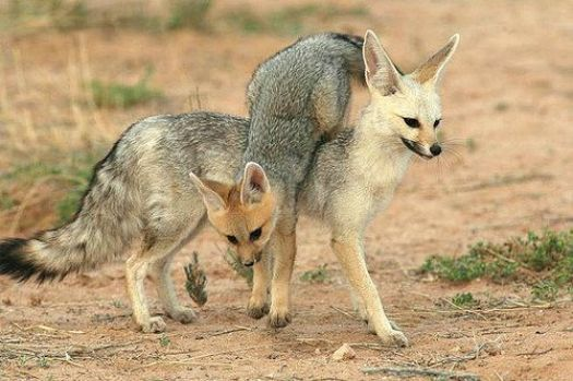 Cape Fox Mother and Cub