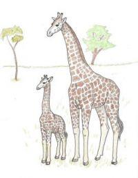 Nubian giraffe cow and calf