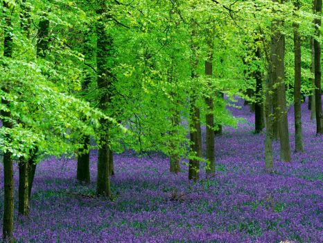 Blue Bells and Beech Trees - England
