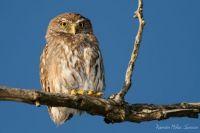 Ferruginous pygmy-owl(Caburé)