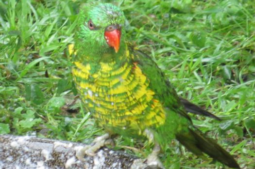 A young Scaly-breasted Lorikeet yesterday..