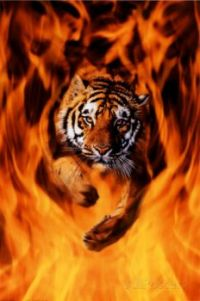 tiger-jump through fire