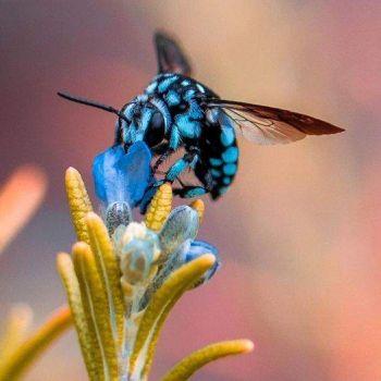 Chequered Cuckoo Bee; Australia