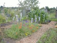 Nature - Seasonal - Allotment - Larkspur & Poppies with Sweet Corn in the Background.