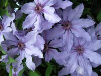 My clematis now blooming