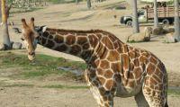 San Diego Zoo Safari Park Giraffe 2