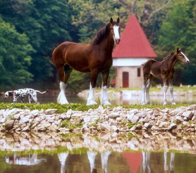 Budweiser Clydesdale Mother & Foal