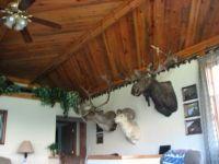 Blued pine t&g ceiling