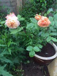 Roses starting to bloom.