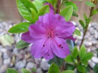 my close up azalea