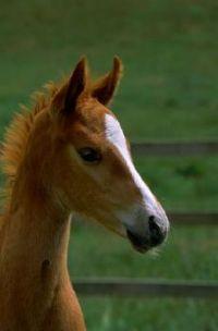 quarterhorse colt