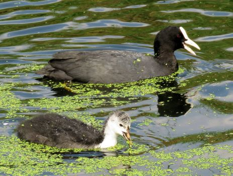 coot chick learning how to feed