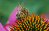 včela na echinacei / bee on echinacea