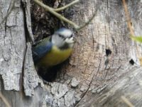 A blue tit, with young ones, nestling in an old willow tree.