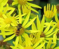 marmalade hoverfly on ragwort (pyjamazweefvlieg op jacobskruid)