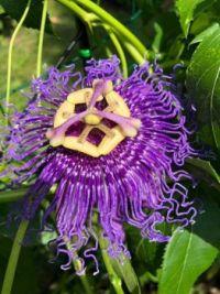 Passionflower Blossom (passiflora)