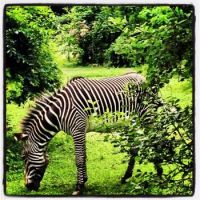 Zebra at Bronx Zoo