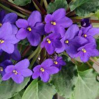 Kaaps viooltje