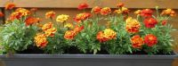 Home sown Marigolds