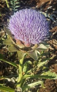 Flowering Artichoke