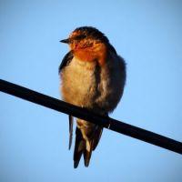 Swallow enjoying a late afternoon sunbath.
