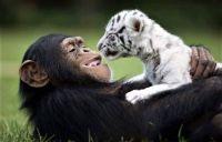 Anjana The Chimpanzee And Tiger Cub