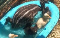 Zeebu n duckies