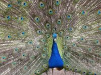 Full-front close-up of Peacock display