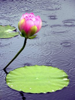 Lotus Blossom in Summer Rain - We need some here!